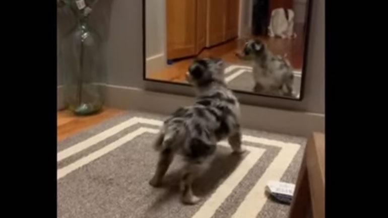 Κουταβάκι μπερδεύεται από την αντανάκλασή του στον καθρέφτη