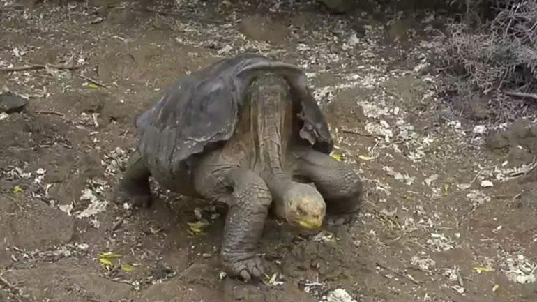 Χελώνα με... υπερσεξουαλική δραστηριότητα επιστρέφει στα Γκαλαπάγκος